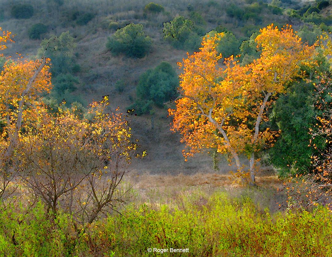 Sycamores in Fall, Santiago Canyon, CA