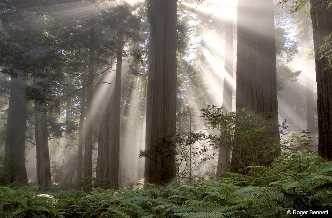 Sun Streaks Through the Trees, Redwoods NP, CA