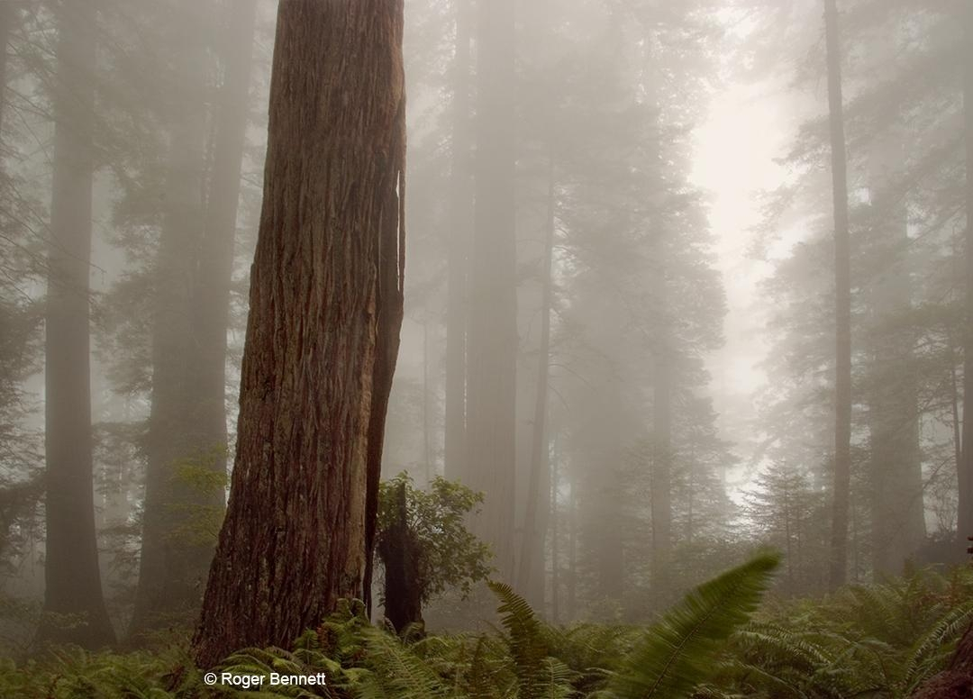 Redwood Tree and Fog, Redwoods National Park, CA