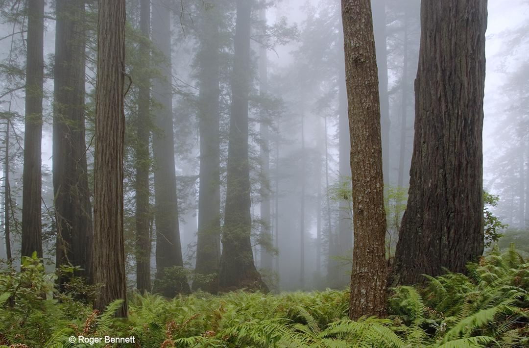 Redwoods, Fog, Redwoods National Park, CA