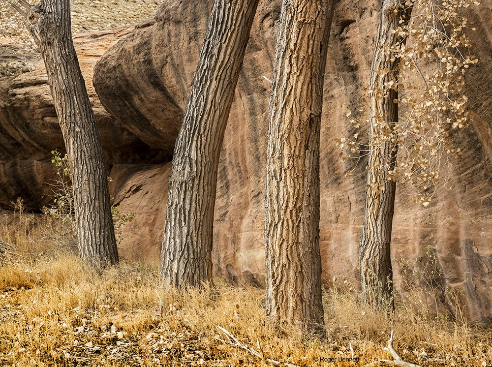 Four Trees, Canyon de Chelly, AZ
